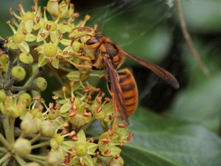 10月 キイロスズメバチ
